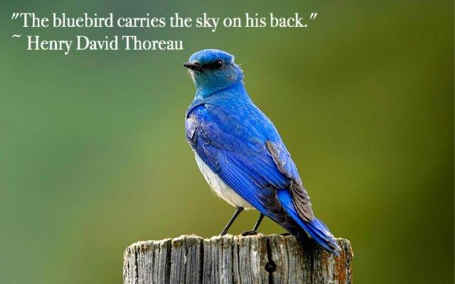 bluebird sossomon no drop